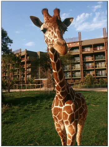 A curious giraffe, at Disney's Animal Kingdom Lodge
